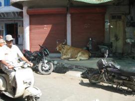 India_cow